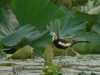 レンカク - Nobbyの鳥ぶろぐ