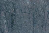 未だ…【エゾフクロウ】 - 鳥観日和