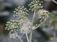 17年冬の自然(4)……もう咲いている、まだ咲いている(4) - ふぉっしるもしてみむとてするなり