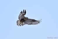 新年2度目も縁起物・・・ケアシノスリ - 野鳥のさえずり、山犬のぼやき