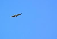 大空を舞うハイタカ Sparrowhawk - 素人写人 雑草フォト爺のブログ