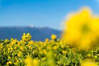 琵琶湖畔の菜の花 -1- - ◆Akira's Candid Photography