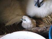 烏骨鶏のヒナが誕生しました!めちゃくちゃかわいいです!菊池水源産烏骨鶏のタマゴ数量限定で販売中! - FLCパートナーズストア