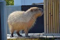 カピバラ温泉 - 動物園へ行こう
