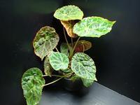 Begonia goegoensis - ベゴの葉っぱ