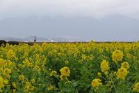 「琵琶湖守山の寒咲菜花」 - 心ざわめく街  -あらうんど京都-