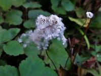 秋明菊の綿毛 - ろりぽりの花