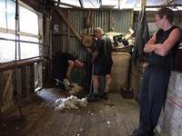 羊の毛刈りがありました/ Shearing Lambs - アメリカからニュージーランドへ
