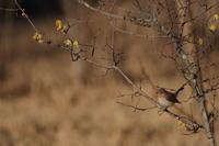 重い腰を上げ【ニシオジロビタキ】 - 鳥観日和