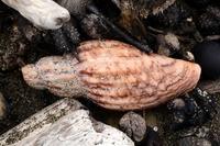 イトマキヒタチオビ属の一種 - こんなものを見た2
