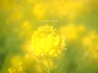 菜の花@愛媛の新春♫ - アリスのトリップ