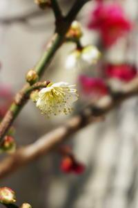 17.01.11 人生ブログ~毎年恒例の梅まつり~♪♪(今日は特別におまけ満載~♪) - 人生とは ?