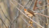 ニシオジロビタキ - 山と鳥を愛するアナパパ