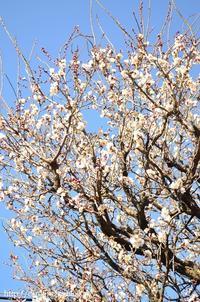 庭の梅  Ume Blossoms on My Garden - お茶の時間にしましょうか-キャロ&ローラのちいさなまいにち- Caroline & Laura's tea break