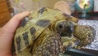 リクガメの結膜炎 - ヨモギ日記