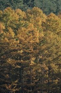 今日のカラマツ林 2016/11/07 - 空ヤ畑ノコトバカリ