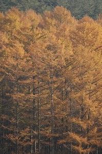 今日のカラマツ林 2017/11/13 - 空ヤ畑ノコトバカリ