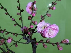 「梅」咲き始めました! - 金沢市戸板公民館ブログ