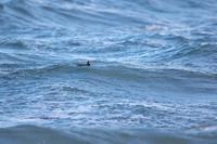 シノリガモ 2 - きままに鳥見.