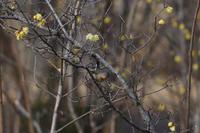 ニシオジロビタキ 01月09日 - 旧サンヨン(Nikon 300mm f/4D)野鳥撮影放浪記