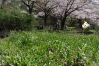 フライイング・バタフライズ 2016 (4)ツマキチョウ   2017.1.22 (記) - たかがヤマト、されどヤマト