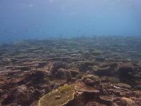 見事なサンゴは糸満にあり! - 沖縄本島最南端・糸満の水中世界をご案内!「海の遊び処 なかゆくい」