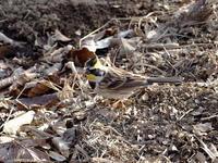 枯野のミヤマホオジロ - コーヒー党の野鳥と自然 パート2