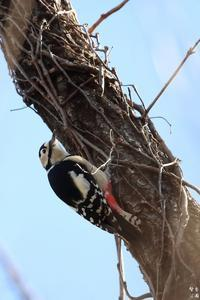 アカゲラ 今季初撮り - 野鳥公園