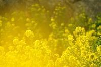 二宮の吾妻山公園の菜の花☆彡 - 僕の足跡