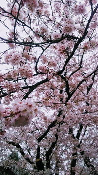 桜を愛でる - できないってなしね。よーく考えたらできるようになるよ。