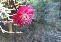 梅花ノカオリ… - 侘助つれづれ