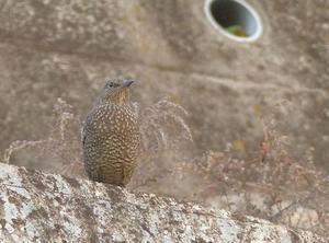 磯ではないのにイソヒヨドリ - 多摩子の鳥見・散歩