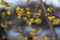 蝋梅咲く - toshi の ならはまほろば