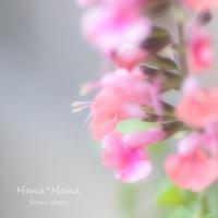 *サルビア* - HANA*HANA