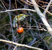 柿とアオゲラを(その2)・・・ - 一期一会の野鳥たち