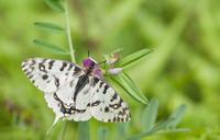 第13回チョウ類の保全を考える集い ご案内 - ヒメオオの寄り道