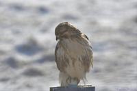 同じ鷹なのですが・・・ノスリ。 - 野鳥のさえずり、山犬のぼやき