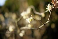 蝋梅から始まる1年 - カメラと過ごす時間
