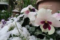 初雪の庭 - すずめtoめばるtoナマケモノ