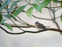 果たして・・・ニシオジロビタキ。 - 鳥見んGOO!(とりみんぐー!)野鳥との出逢い