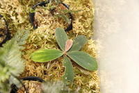 "Homalomena sp. ""Sumatera"" - PlantsCade -2nd effort"