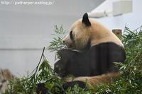 2016年12月 白浜パンダ見隊2 その3(2日め) 結ちゃん98日齢、朝の体重測定 - ハープの徒然草