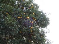 柑橘系の実が・・・ - 【出逢いの花々】