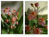 オンシジウム 開花しました♪ - 芽々のちゃぶ台