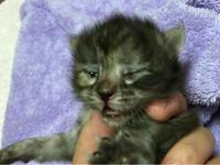 ハピちゃん開眼!/生後0日で保護されたの子ネコ(生後16日目) - Lucky★Dip666-II