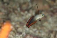アケボノハゼ 幼魚 - Diving Photo
