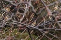 神代植物公園 アトリ ダイサギ ウメジロー - ぐまのブログ