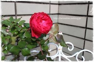 ついてない日 - La rose 薔薇の庭