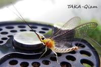 Ephemera japonica - TAKA-Qizm