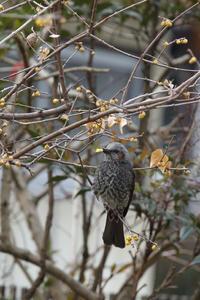 春を待つヒヨドリ  - 風の彩り-2